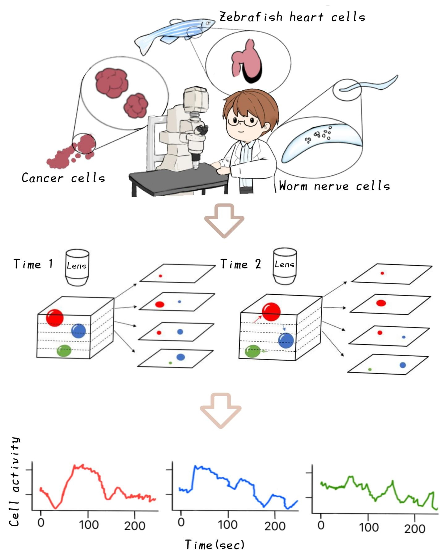 Illustration showing how an AI tracks cells through a microscope.